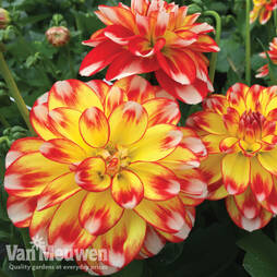 Dahlia 'Lubega Power Tricolor'