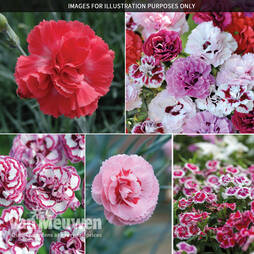 Scented Dianthus Collection