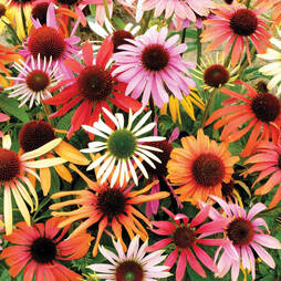 Echinacea purpurea 'Primadonna Mixed' (Garden ready)