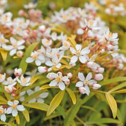 Choisya ternata 'Sundance' (Large Plant)