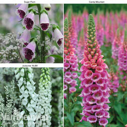 Foxglove Trio Collection