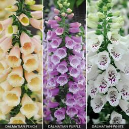 Foxglove 'Dalmatian Mixed' (Garden ready)