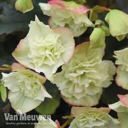 Begonia elatior 'Frivola Lime'