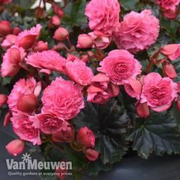 Begonia elatior 'Frivola Pink'