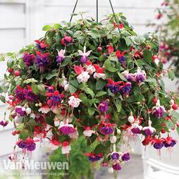 Fuchsia Trailing Mix Preplanted basket