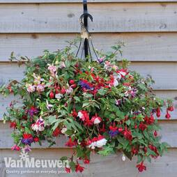 Fuchsia 'Trailing Mixed' Pre-planted basket