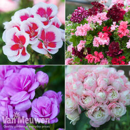 Nurserymans Choice Geraniums