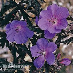 Geranium 'Purple Haze' (Seeds)