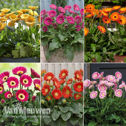 Nurserymans Choice Gerberas