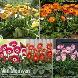 Hardy Gerbera Patio Collection