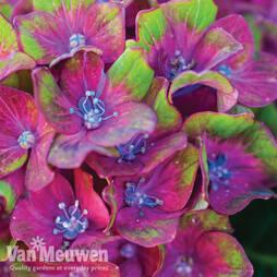 Hydrangea macrophylla 'Glam Rock' (Horwack)