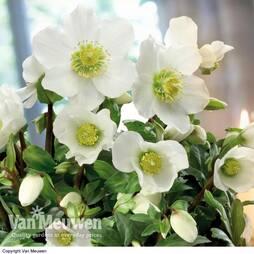 Hellebore 'Christmas Rose'