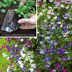 Lobelia 'Ultra Cascade' (Garden ready)
