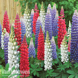 Lupin 'Street Party Collection'
