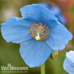 Meconopsis 'Lingholm'