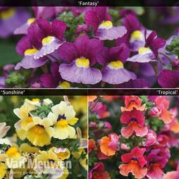 Nemesia Collection (Nesia™ Series)