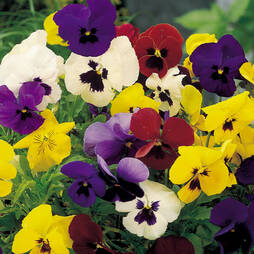 Pansy 'Winter Flowering Super Mix'