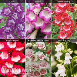 Pretty Penstemon Collection