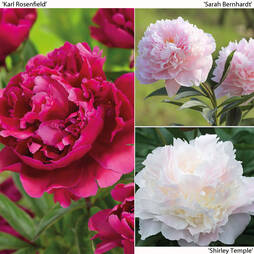 Paeonia Lactiflora Collection