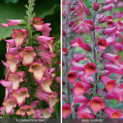 Perennial Foxglove Collection