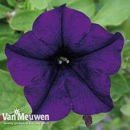 Petunia 'Surfinia Blue'