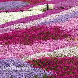 Nurserymans Choice Phlox Collection (Creeping)