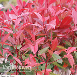 Photinia x fraseri 'Red Robin' (Large Plant)