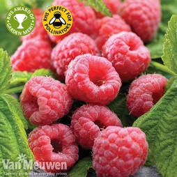Raspberry 'Polka'