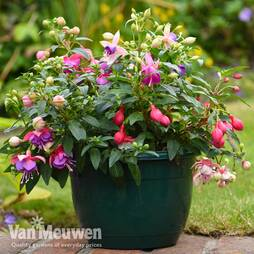 Fuchsia Trailing Pre-Planted Patio Pot