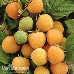 Raspberry 'All gold' (Autumn fruiting)