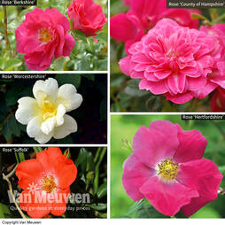 Nurserymans Choice Rose Ground Cover Collection (Groundcover Rose)
