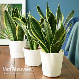 Sansevieria trifasciata var. laurentii (House Plant)
