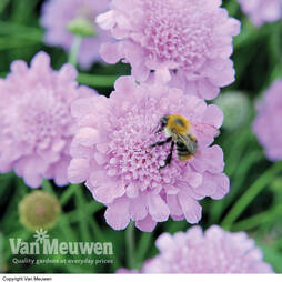 Scabious 'Kudos Purple'