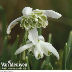 Snowdrops in the Green (Double Flowered)