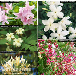 Scented Climber Collection