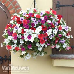 Petunia Surfinia Preplanted basket