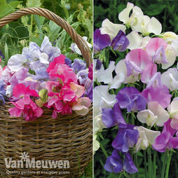 Sweet Pea Duo Collection