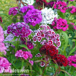 Sweet William 'Mix' (Garden Ready)