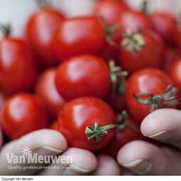 Tomato Romello F1 Hybrid (Seeds)