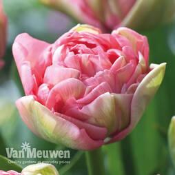Tulip 'Promiss'