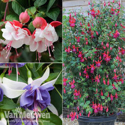 Ultimate Fuchsia Collection