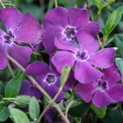 Vinca minor 'Atropurpurea'
