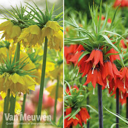 Fritillaria imperialis 'Collection'