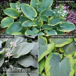 Hosta 'Giant Leaved Mix'