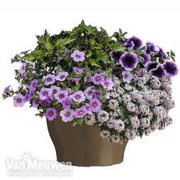 Purple Lights Annuals Collection