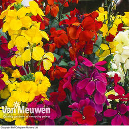 Wallflower 'Super-Scent Mix'