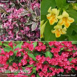 Weigela Patio Trio