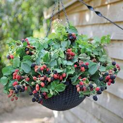 Blackberry 'Black Cascade'