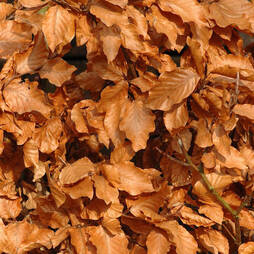 Copper Beech (Hedging)