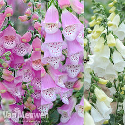 Foxglove 'Knee High Mixed'